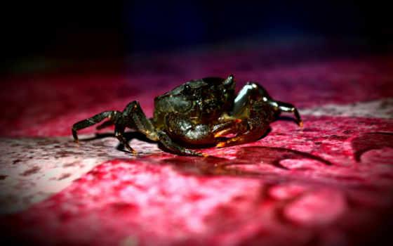 fotos, legais, crab, tapeta,