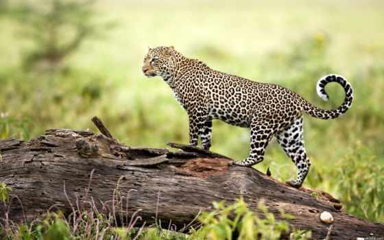 леопард, леопарды, красивый