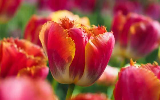 flowers, тюльпан, цветы