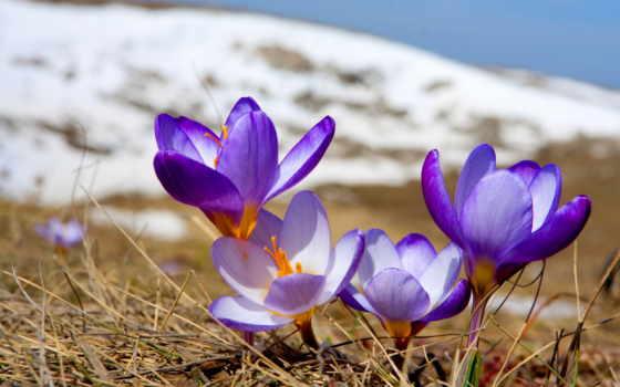 весна, первоцвет, природа, cvety, крокусы, цветение,
