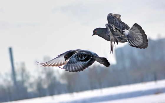 голуби, голубь, птицы, рисунок, плакат, картинка, плакаты, полет, полете,