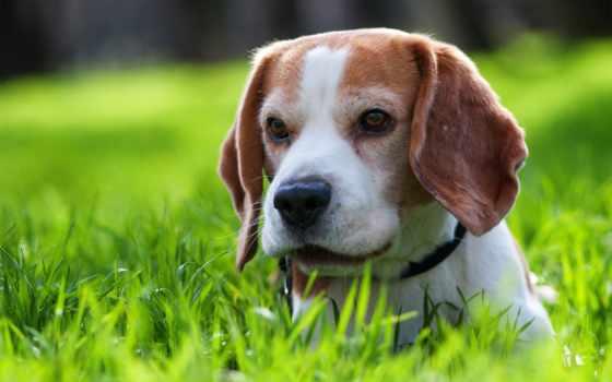 собака, подушки, longest, породы, купить, beagle, living, условиях, домашних, анализ,