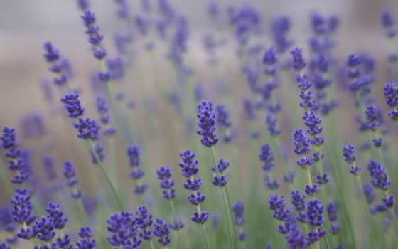 lavender, поле, cvety, фиолетовые, сиреневые,