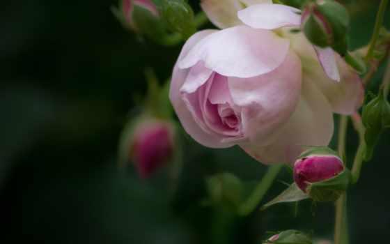 розы, бутоны, цветы