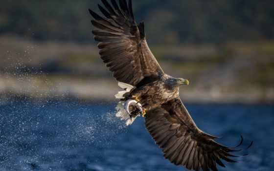 hawk, птица, хищник