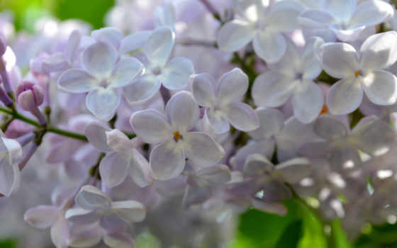 cvety, сирени, фиолетовые, весна,
