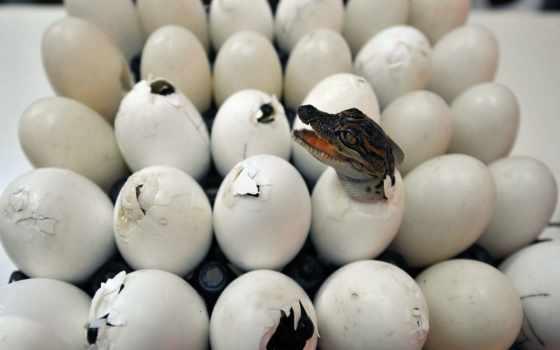 крокодил, крокодилы, яйца