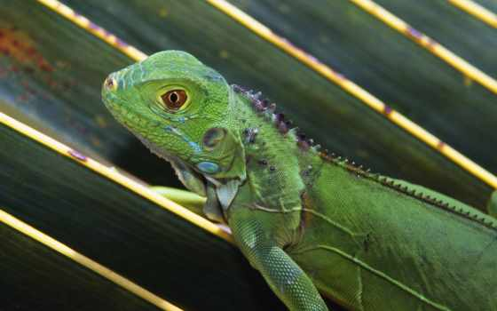 игуаны, детёныш, iguana