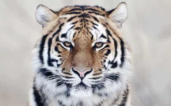 тигр, ecran, tigre, fonds, fond, chat,