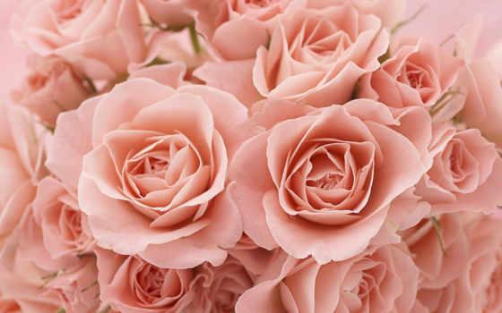 розы, бутоны, лепестки, макро, цветы,