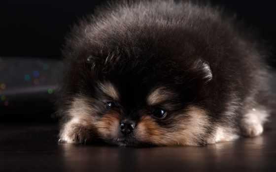 собака, шпиц, хаски, browse, siberian, хаска, лежит, щенок, nice,