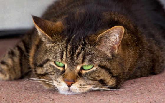 striped, кот, свет, морда, лежит, зеленые, ус,