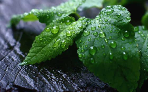 листья, зелёный, мята, treating, дождь,
