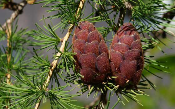 pine, masculin, mantra, succe, cone, pazel, эго
