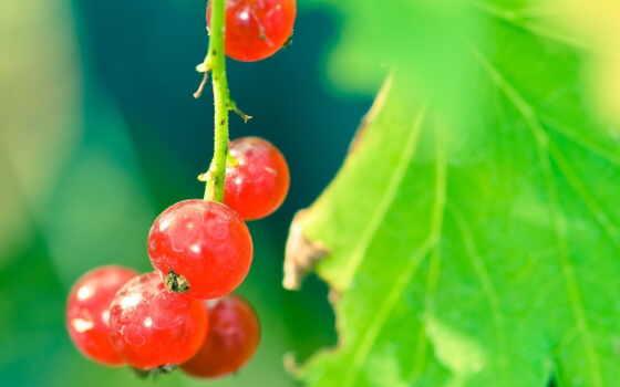 смородина, красивый, red, website, ягода, smotrodina, красное, ток