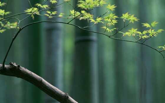 бамбук, maple, branch, japanese, дерево, минимализм, color, eastern,