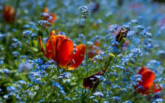 цветы, поле, flowers, resimleri, тюльпан, çiçek, gül, fleurs, çiçekler,