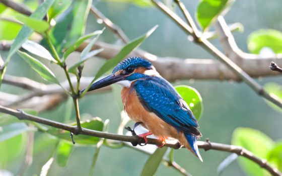 kingfisher, птица, branch, ruby, fish,