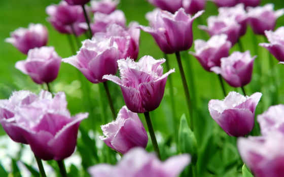 тюльпаны, cvety, лепестки, весна, тюльпан, бутоны, природа, цветы, макро,