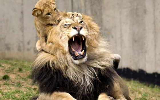 card, львы, lion
