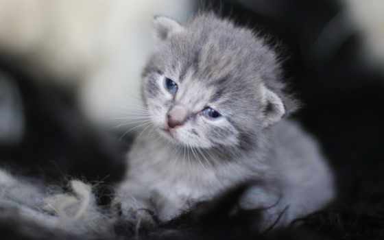 котенок, котята, кот, animais, kedi, british, grigio,