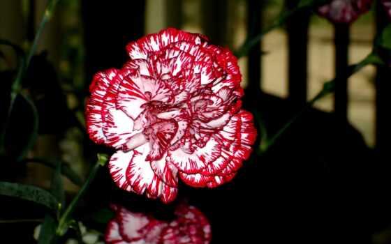 gvozdika, carnation, пудель, seed, plante, rare, идея, зелёный, caryophyllus, dianthus