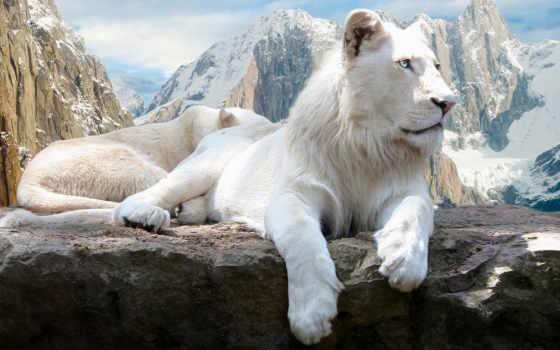 lion, white, скале