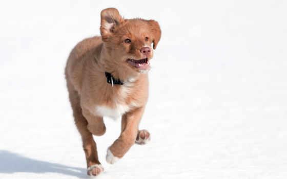 собаки, новошотландский, ретривер