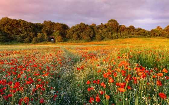 cvety, полевые, поле, красные, маки, природа, трава, summer, pictures, pin,