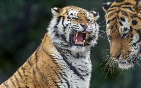 тигры, ухмылка, тигр, browse, агрессия, хищник,