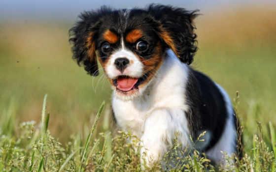 собака, собаки, king, зооклубе, charles, spaniel, породы, кавалер,