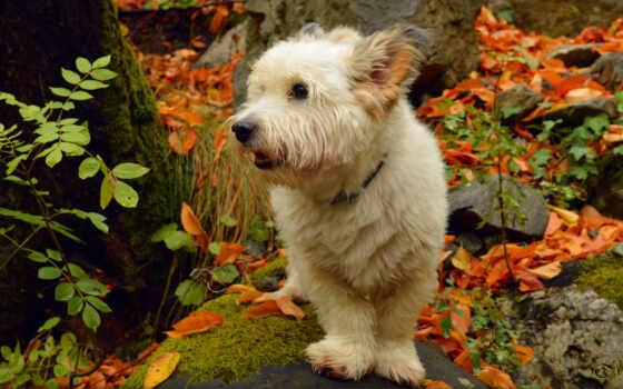 бультерьер, white, highland, west, собака, anje
