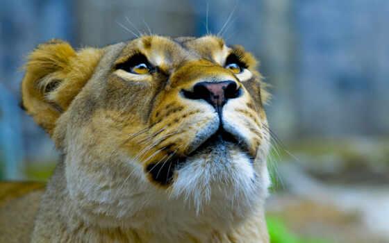 еще, animal, красивый, queen, который, трава, lion
