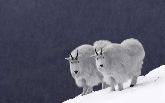 козлы, горные, канада