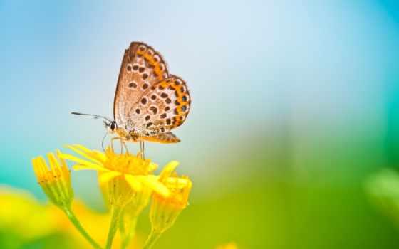 бабочка, цветке, цветы, бабочка,