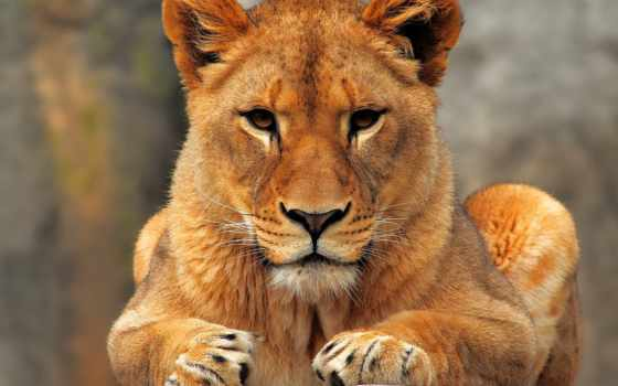 lion, молодой, камне