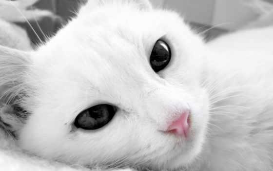 кот, white, глазами