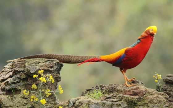pheasant, золотистый, животные, картинка, hias, ayam, flowers, rock,