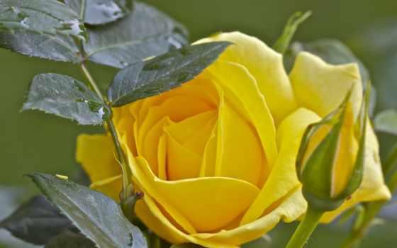 розы, анимация, роз, rosas, подборка, фотографий, красивейших, бутонов, сочетании,