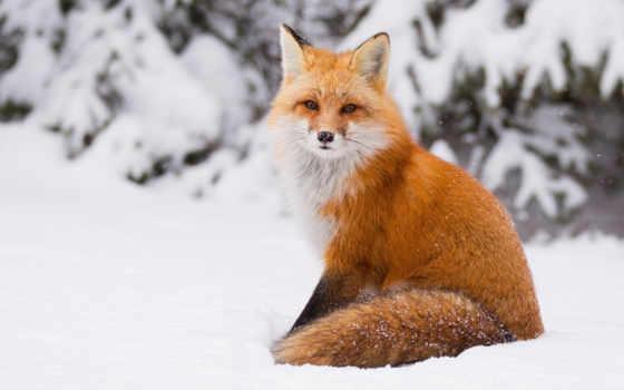 фокс, animal, снег, winter, red, разр, nice