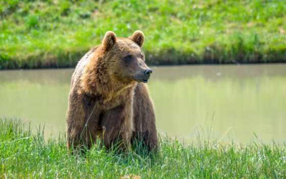 медведь, браун, планшетный, телефон