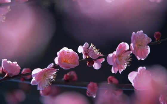 дерево, цветущее, весна, солнце, pink, nature, flower, весеннее, sakura, цветение,