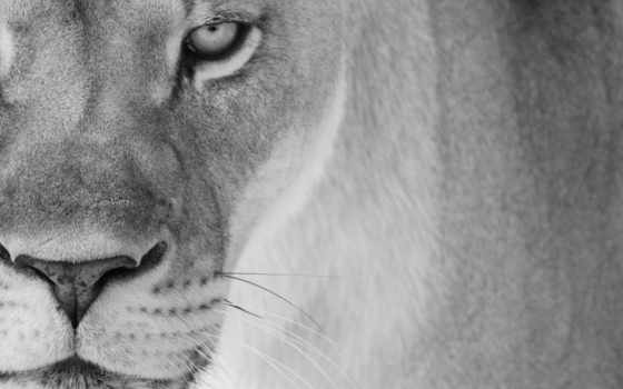 lioness, lion, download