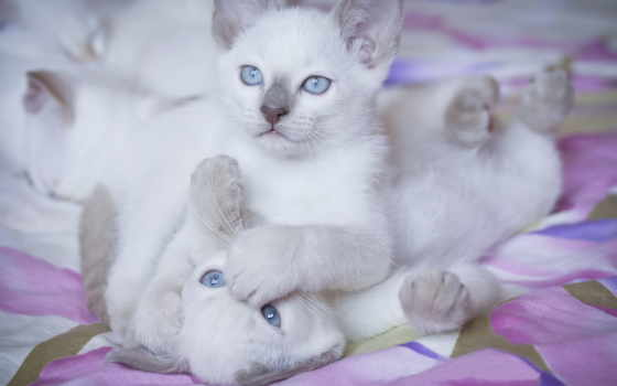 котята, кошки, белые