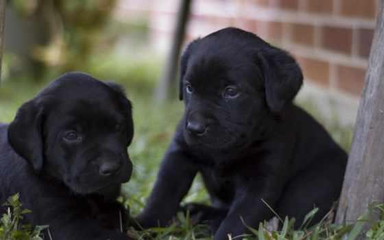labrador, retriever, собака, щенки, породы, black, собак, характер, порода,