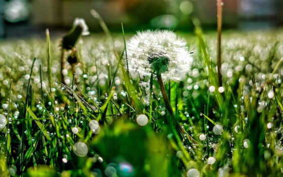 утро, роса, одуванчик, трава, зелёный, одуванчики, свежесть, toyota, camry,