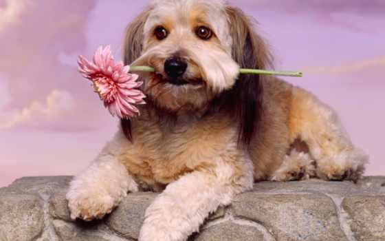 wallpapers, wallpaper, hd, desktop, скачать, and, free, картинку, download, with, animal, dog, flower, íæá, glen, toy, terrier, imaal,