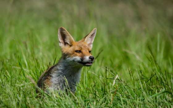 животные, лисы, картинкой