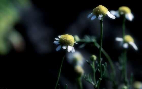 ромашки, focus, цветы