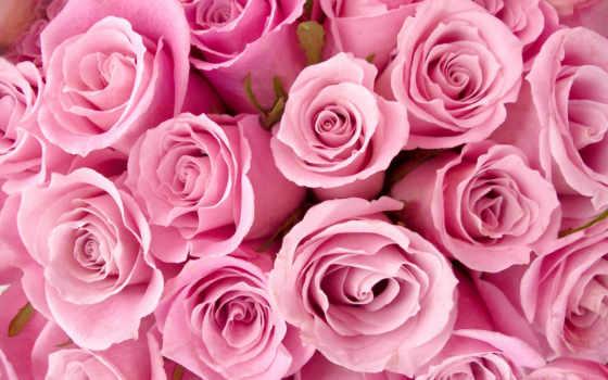цветы, розовые, розы